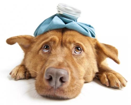 Maniobra de Heimlich i Reanimació Cardiopulmonar per a gossos